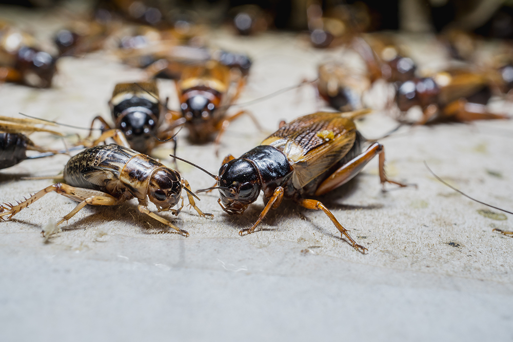 Blog How To Get Rid Of Crickets