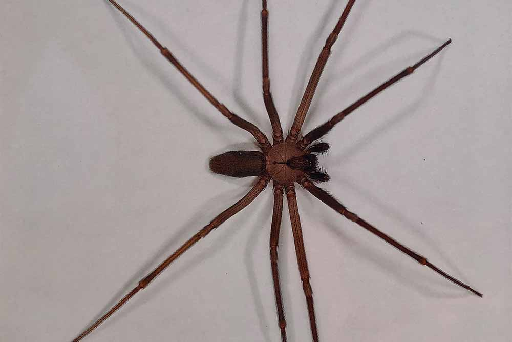 Brown Recluse Spiders Mccarthy Termite Pest Control Blog